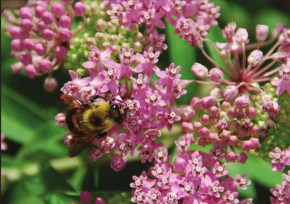 PLANT A VARIETY of bee attracting flowers like swamp milkweed, a North American native plant. Photo Courtesy / MelindaMyers.com
