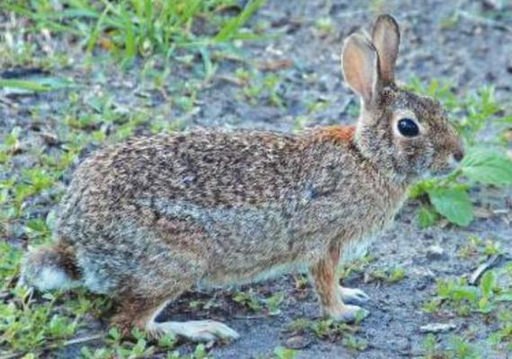 TO PROTECT plantings from rabbits, use fencing that is at least four feet tall or a repellent that discourages them from dining on plants. Photo Courtesy / MelindaMyers.com